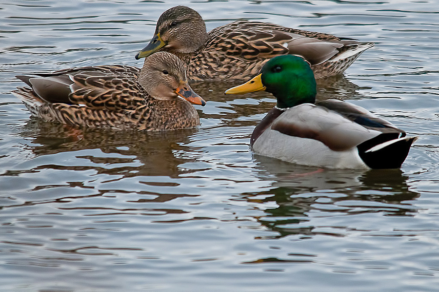 Mallards | SIGMA APO 150-500MM F5-6.3 DG OS HSM <br> Click image for more details, Click <b>X</b> on top right of image to close