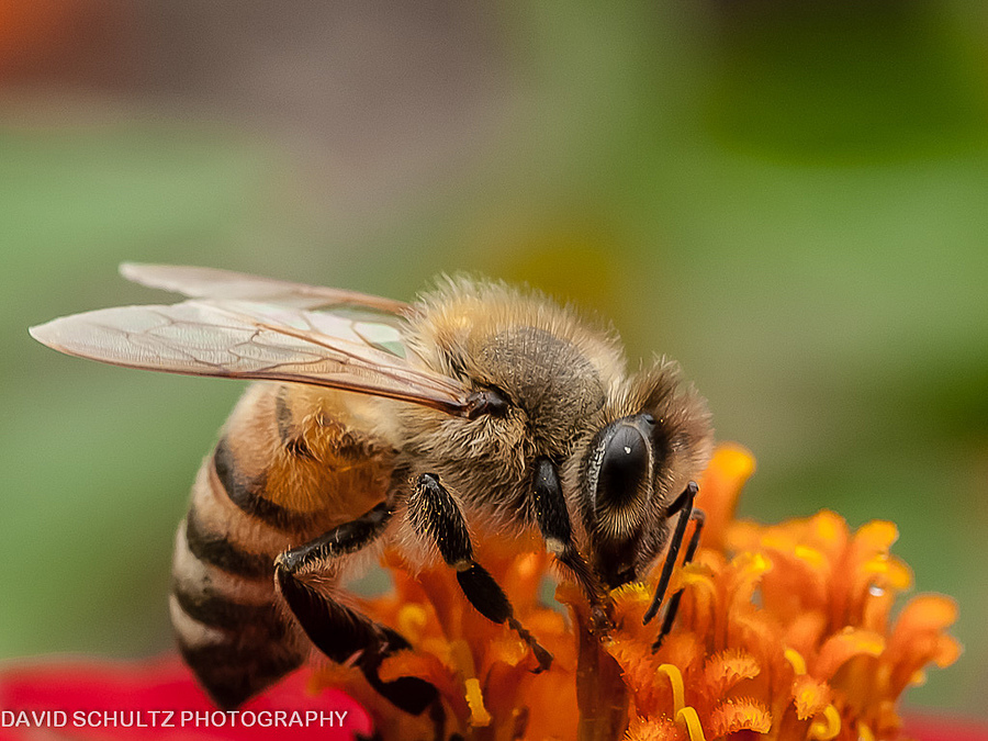 Honeybee | TOKINA 100MM F2.8 MACRO <br> Click image for more details, Click <b>X</b> on top right of image to close