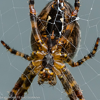 Cross Spider | TOKINA 100MM F2.8 MACRO <br> Click image for more details, Click <b>X</b> on top right of image to close