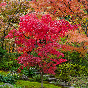 Japanese Red Leaf Maple | NIKON 28-300MM F/3.5-5.6G ED VR <br> Click image for more details, Click <b>X</b> on top right of image to close