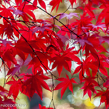 Japanese Red Leaf Maple Detail | NIKON 28-300MM F/3.5-5.6G ED VR <br> Click image for more details, Click <b>X</b> on top right of image to close