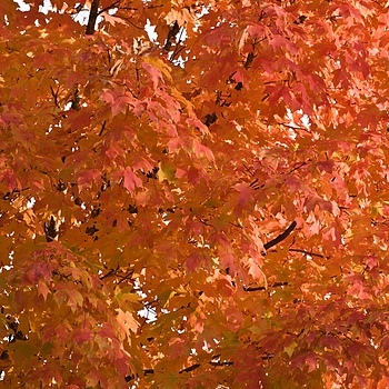 Maple In Fall | NIKON 70-300MM F/4-5.6D ED AF <br> Click image for more details, Click <b>X</b> on top right of image to close