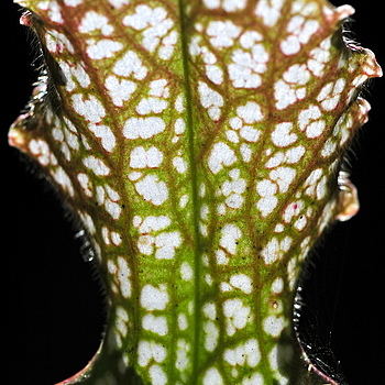 Carnivorous Plant | NIKON 105MM F/2.5 <br> Click image for more details, Click <b>X</b> on top right of image to close