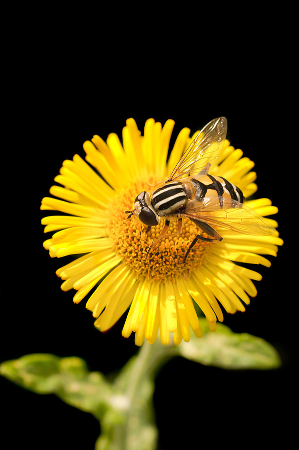 Bee on flower | LENS MODEL NOT SET <br> Click image for more details, Click <b>X</b> on top right of image to close