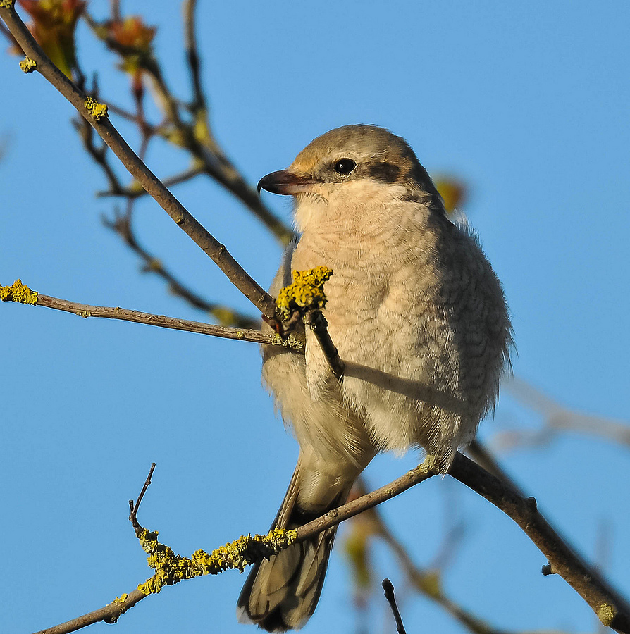 Northern Shrike | NIKON 500MM F/4G ED-IF AF-S VR N <br> Click image for more details, Click <b>X</b> on top right of image to close