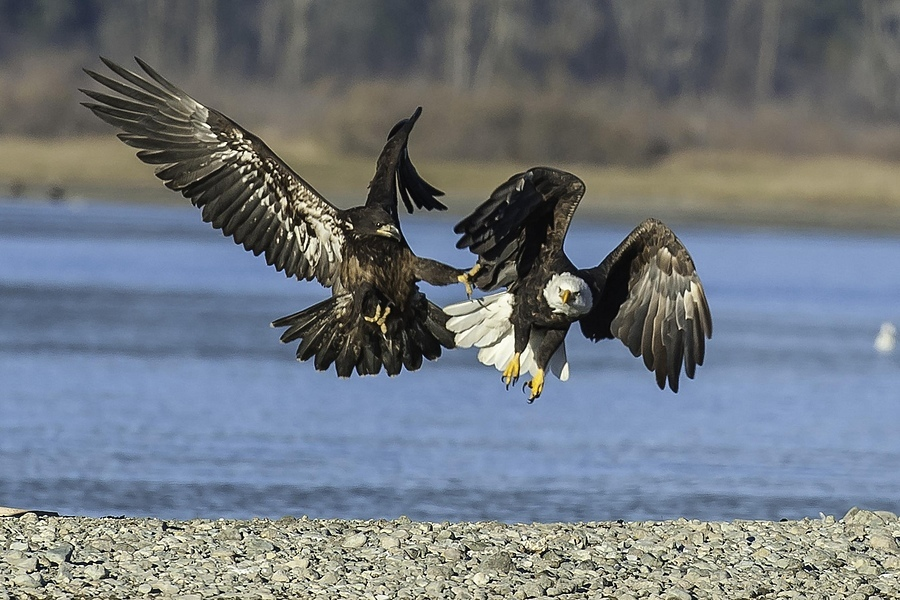 Pair of Eagles Fighting | NIKON 500MM F/4D ED-IF AF-S II <br> Click image for more details, Click <b>X</b> on top right of image to close
