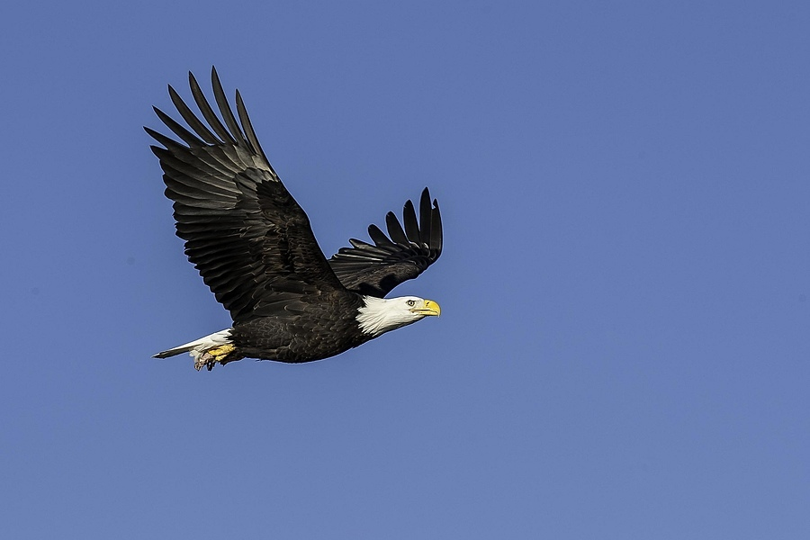 Eagle in Flight | NIKON 500MM F/4D ED-IF AF-S II <br> Click image for more details, Click <b>X</b> on top right of image to close