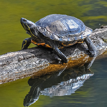 Turtle Time | NIKON 500MM F/4G ED-IF AF-S VR N <br> Click image for more details, Click <b>X</b> on top right of image to close