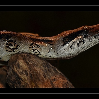 Boa | NIKON 70-300MM F/4.5-5.6G IF-ED AF-S VR <br> Click image for more details, Click <b>X</b> on top right of image to close