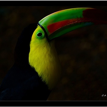 Tucan (Ramphastidae) | NIKON 70-300MM F/4.5-5.6G IF-ED AF-S VR <br> Click image for more details, Click <b>X</b> on top right of image to close