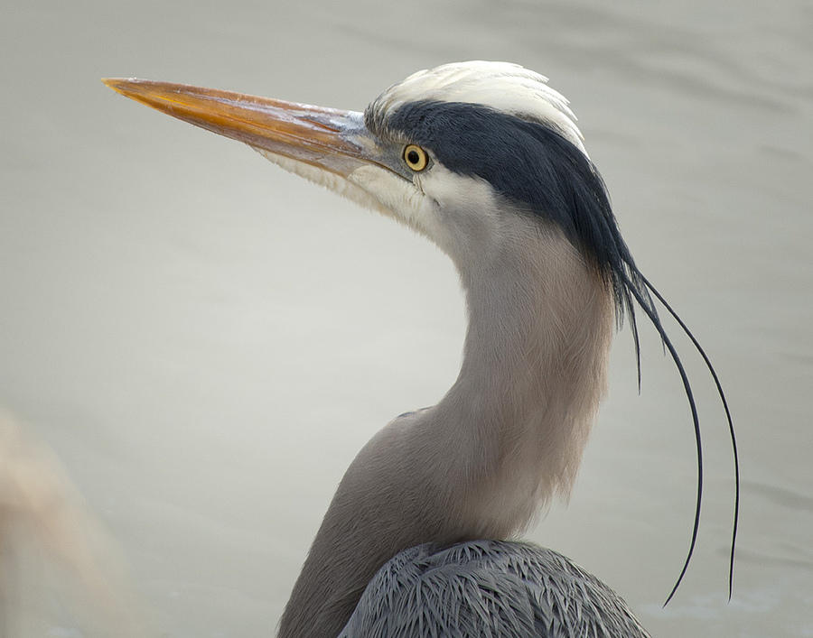 Great Blue Heron Head | NIKON 80-400MM F/4.5-5.6D ED AF VR <br> Click image for more details, Click <b>X</b> on top right of image to close
