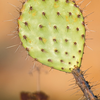 Torrey Pines Cactus | NIKON 70-200MM F/2.8G ED-IF AF-S VR <br> Click image for more details, Click <b>X</b> on top right of image to close