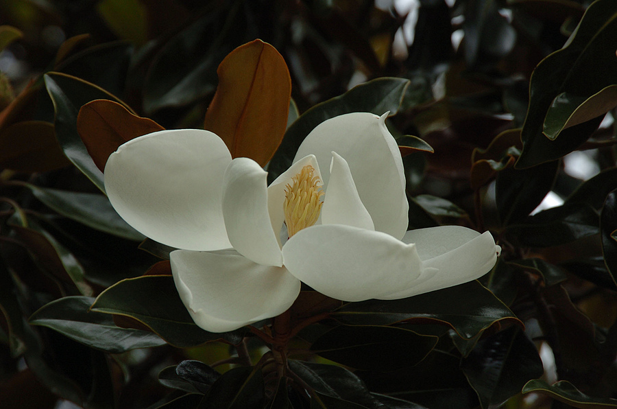 Magnolia Bloom | NIKON 24-120MM F/4G ED VR <br> Click image for more details, Click <b>X</b> on top right of image to close