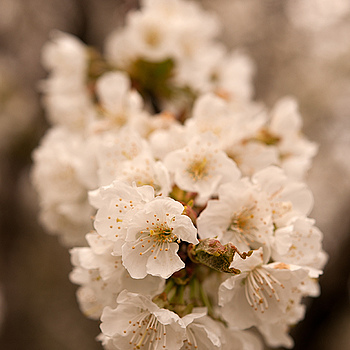 cherry blossom | NIKON 60MM F/2.8D AF-S G MICRO N <br> Click image for more details, Click <b>X</b> on top right of image to close