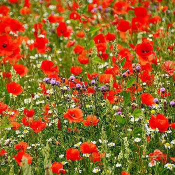 Champs de Coquelicots | TAMRON 18-270MM F/3.5-6.3 <br> Click image for more details, Click <b>X</b> on top right of image to close