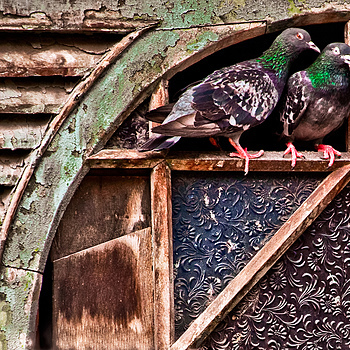 Pigeons de Grunge | SIGMA 70-300MM F4-5.6 <br> Click image for more details, Click <b>X</b> on top right of image to close