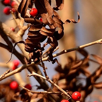 Winter Leaves and Berries | TAMRON 18-270MM F/3.5-6.3