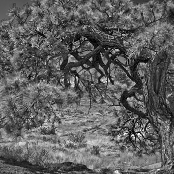 Ponderosa Pine | NIKON 18-200MM F/3.5-5.6G ED-IF AF-S VR DX II <br> Click image for more details, Click <b>X</b> on top right of image to close