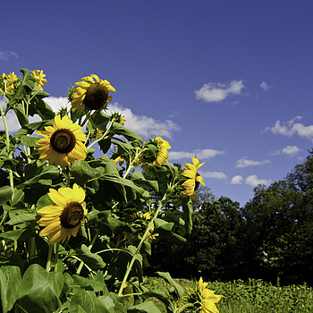 Sunflowers | TOKINA 12-24MM F4 <br> Click image for more details, Click <b>X</b> on top right of image to close