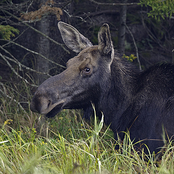 My first moose | NIKON 600MM F/4D ED-IF AF-S II <br> Click image for more details, Click <b>X</b> on top right of image to close