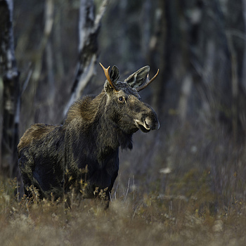 Young Bull Moose | NIKON 600MM F/4D ED-IF AF-S II <br> Click image for more details, Click <b>X</b> on top right of image to close