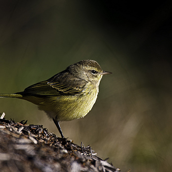 Palm Warbler | NIKON 600MM F/4D ED-IF AF-S II <br> Click image for more details, Click <b>X</b> on top right of image to close