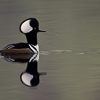 Male Hooded Merganser | NIKON 600MM F/4D ED-IF AF-S II <br> Click image for more details, Click <b>X</b> on top right of image to close