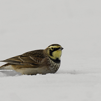 Horned Lark | NIKON 600MM F/4D ED-IF AF-S II <br> Click image for more details, Click <b>X</b> on top right of image to close