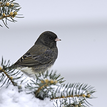 Winter Junco | NIKON 600MM F/4D ED-IF AF-S II <br> Click image for more details, Click <b>X</b> on top right of image to close