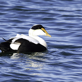 Common Eider | NIKON 600MM F/4D ED-IF AF-S II <br> Click image for more details, Click <b>X</b> on top right of image to close