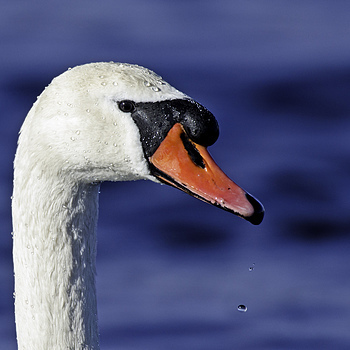 Mute Swan | NIKON 600MM F/4D ED-IF AF-S II <br> Click image for more details, Click <b>X</b> on top right of image to close