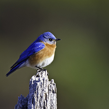 Bluebird | NIKON 600MM F/4D ED-IF AF-S II <br> Click image for more details, Click <b>X</b> on top right of image to close