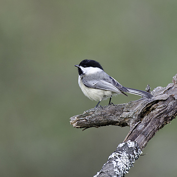 Chickadee | NIKON 600MM F/4D ED-IF AF-S II <br> Click image for more details, Click <b>X</b> on top right of image to close
