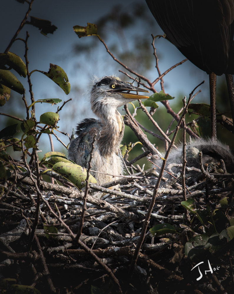 Blue Heron Baby | NIKON TC-14A (1.4X) <br> Click image for more details, Click <b>X</b> on top right of image to close