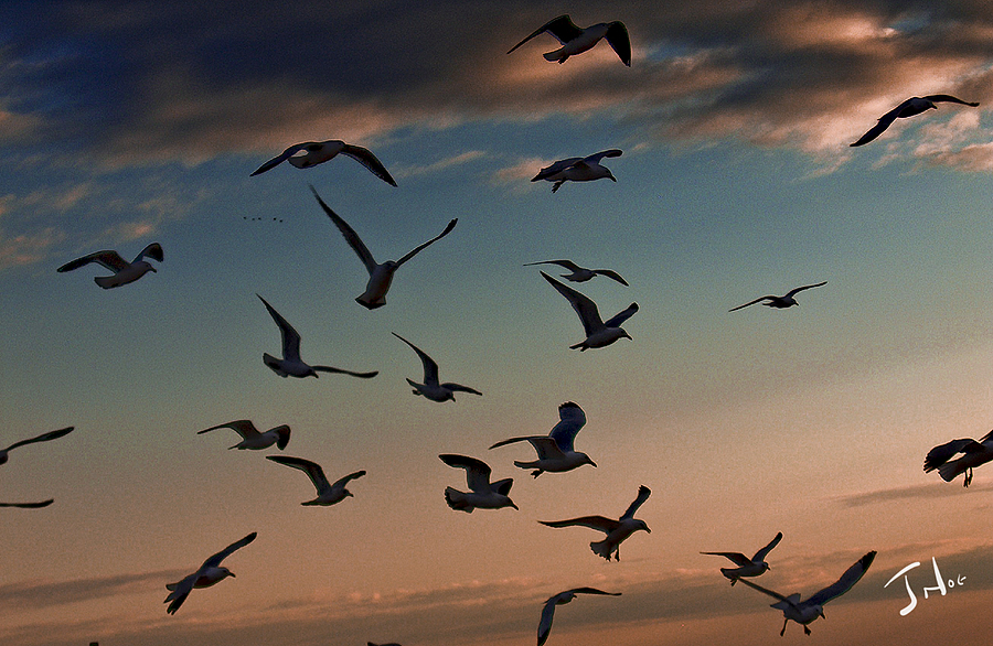 Birds in Flight | LENS MODEL NOT SET <br> Click image for more details, Click <b>X</b> on top right of image to close