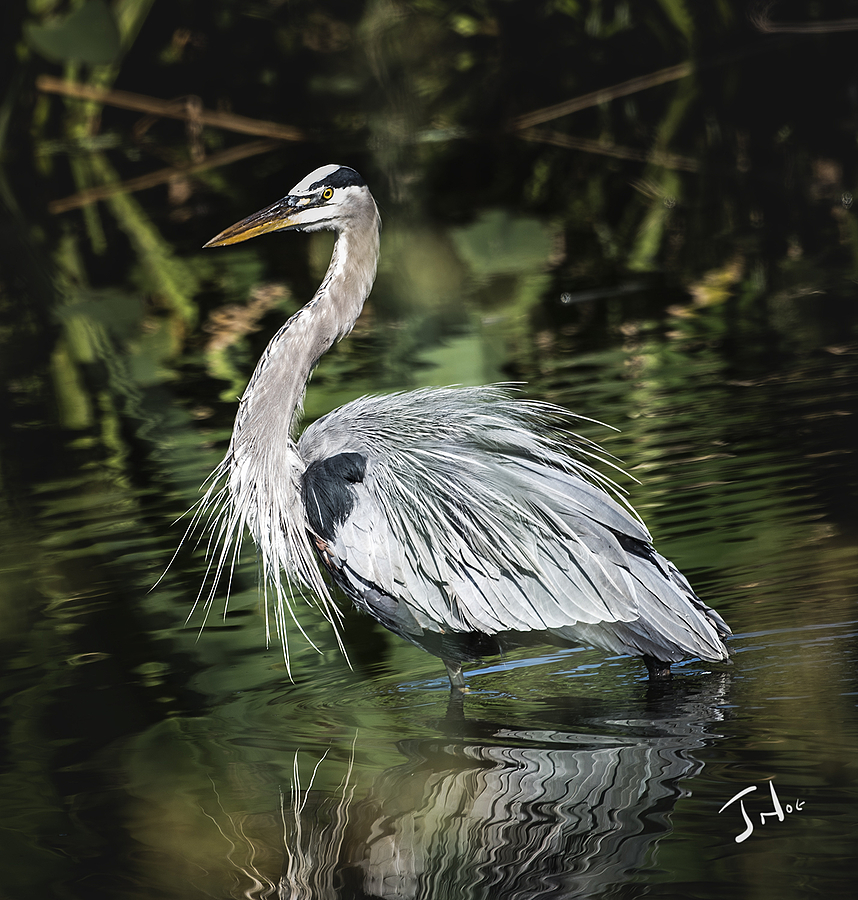 Blue Heron Looking Petty | LENS MODEL NOT SET <br> Click image for more details, Click <b>X</b> on top right of image to close