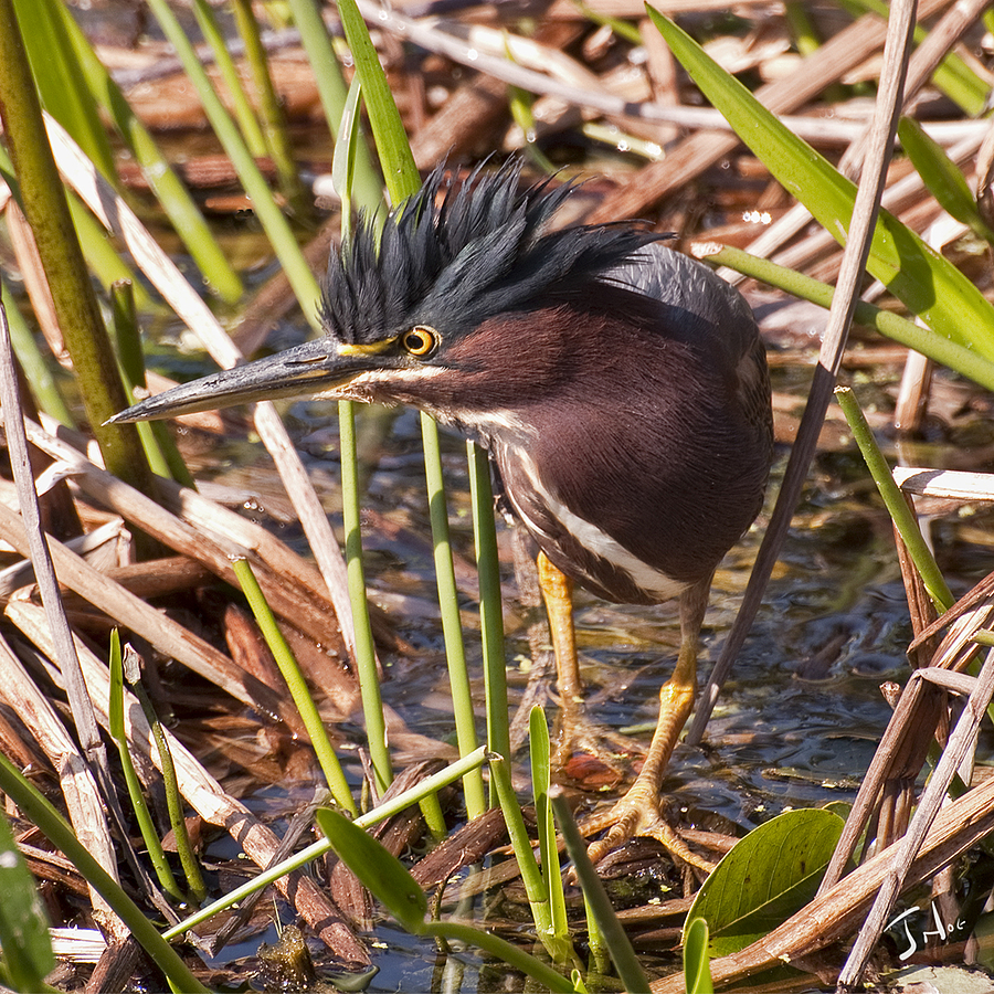 Green Heron  In Th e Hunt | LENS MODEL NOT SET <br> Click image for more details, Click <b>X</b> on top right of image to close