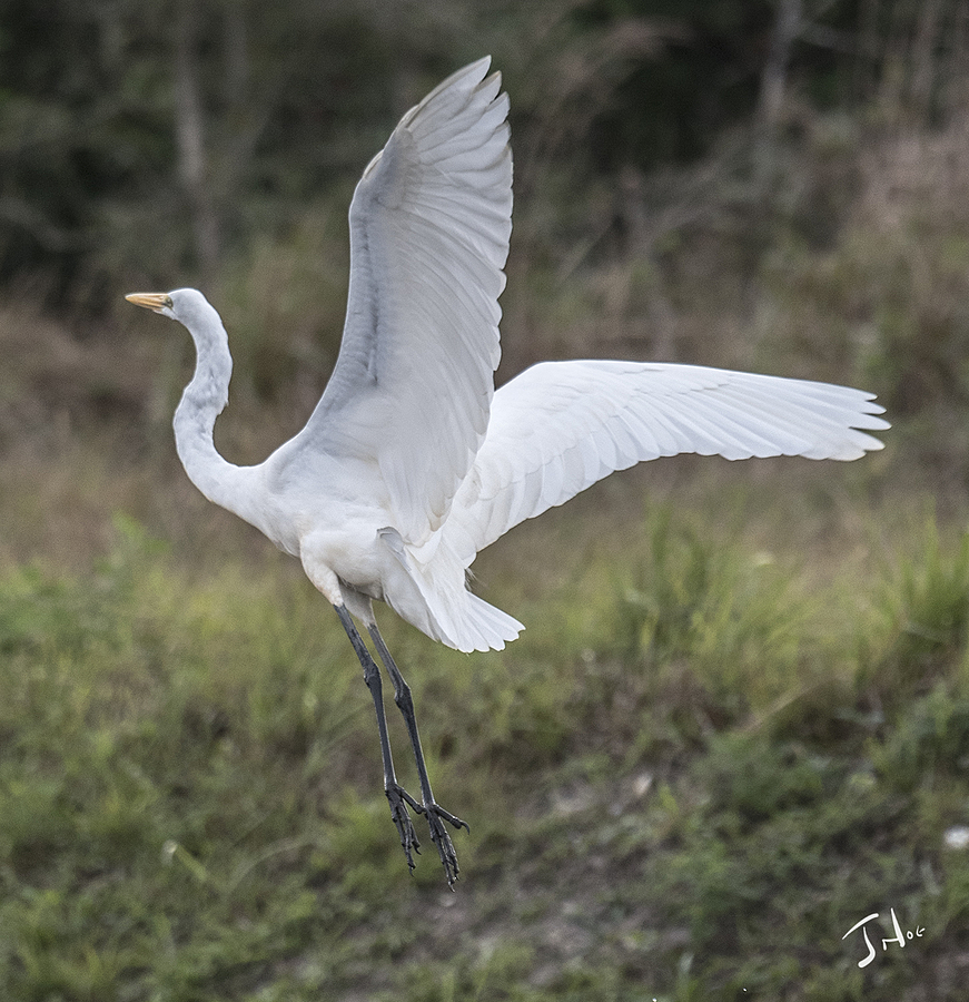 Great White Egret  Landing | LENS MODEL NOT SET <br> Click image for more details, Click <b>X</b> on top right of image to close