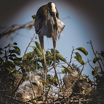 Blue Heron feeding Babies | NIKON TC-14A (1.4X) <br> Click image for more details, Click <b>X</b> on top right of image to close
