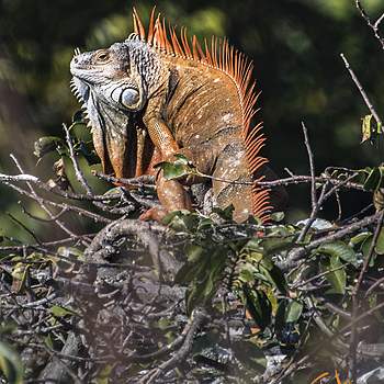 Iguana | NIKON TC-14A (1.4X) <br> Click image for more details, Click <b>X</b> on top right of image to close