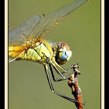 Dragonfly | NIKON 300MM F/4D ED-IF AF-S <br> Click image for more details, Click <b>X</b> on top right of image to close