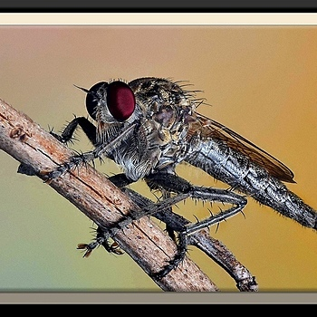RobberFly | SIGMA 150MM F/2.8 EX DG APO HSM MACRO <br> Click image for more details, Click <b>X</b> on top right of image to close