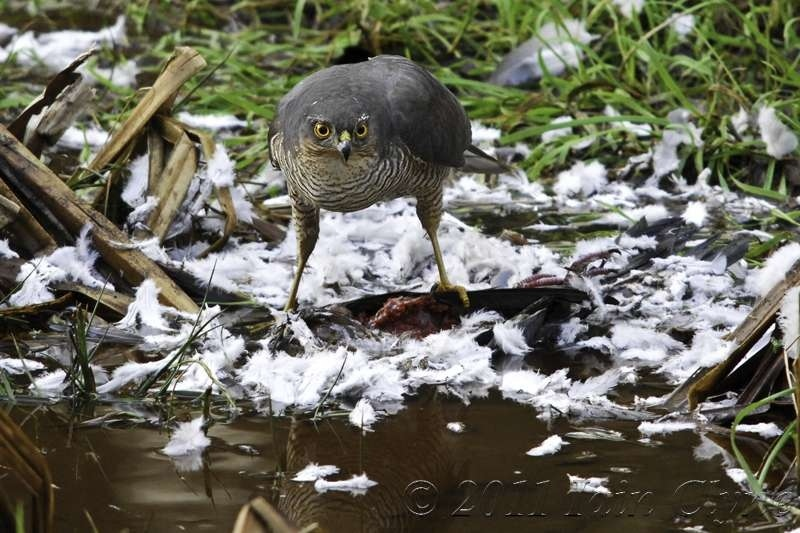 Sparrowhawk with kill | SIGMA APO 150-500MM F5-6.3 DG OS HSM <br> Click image for more details, Click <b>X</b> on top right of image to close