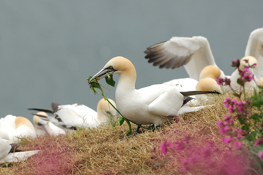 Gannets | NIKON 300MM F/4D ED-IF AF-S <br> Click image for more details, Click <b>X</b> on top right of image to close