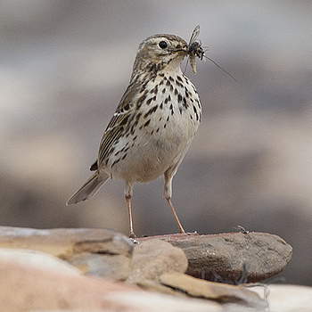 Meadow Pipit | SIGMA APO 150-500MM F5-6.3 DG OS HSM
