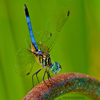 Blue Dasher Dragonfly | NIKON 80-200MM F/2.8D ED AF-S <br> Click image for more details, Click <b>X</b> on top right of image to close