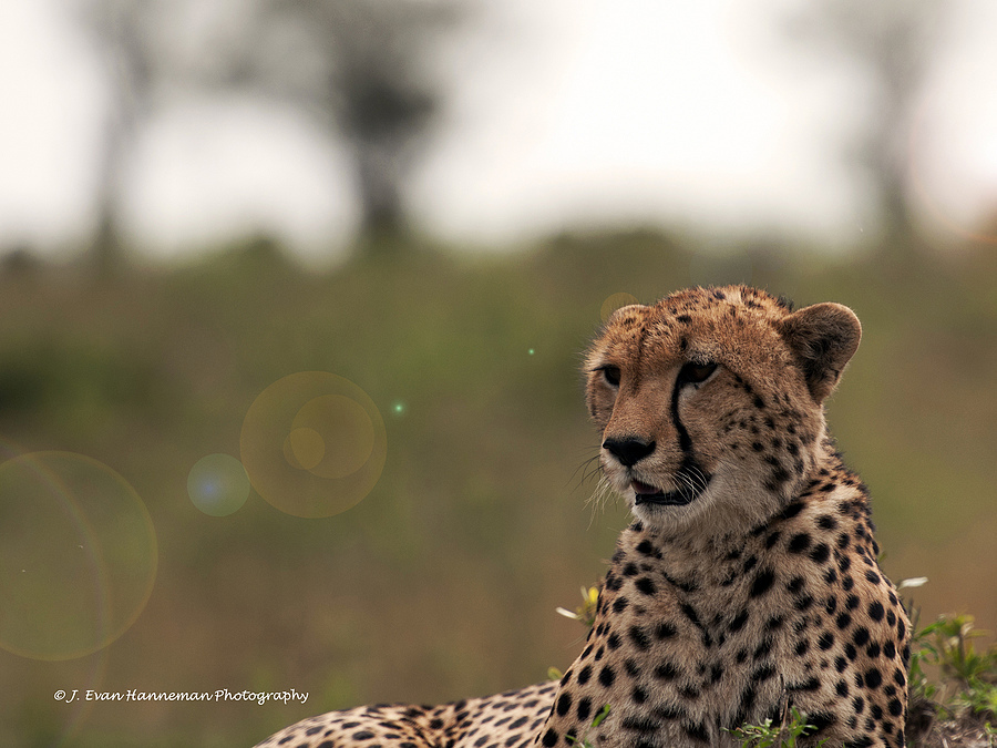 African Cheetah | NIKON 70-200MM F/2.8G ED AF-S VR II <br> Click image for more details, Click <b>X</b> on top right of image to close
