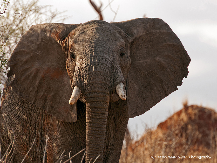 African Elephant | NIKON 70-200MM F/2.8G ED AF-S VR II <br> Click image for more details, Click <b>X</b> on top right of image to close
