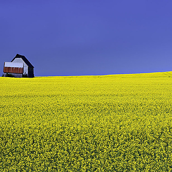 Canola Field | NIKON 24-70MM F/2.8G ED AF-S N <br> Click image for more details, Click <b>X</b> on top right of image to close
