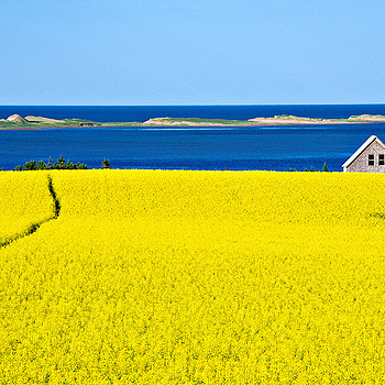 Canola in Springbrook, PEI | LENS MODEL NOT SET <br> Click image for more details, Click <b>X</b> on top right of image to close